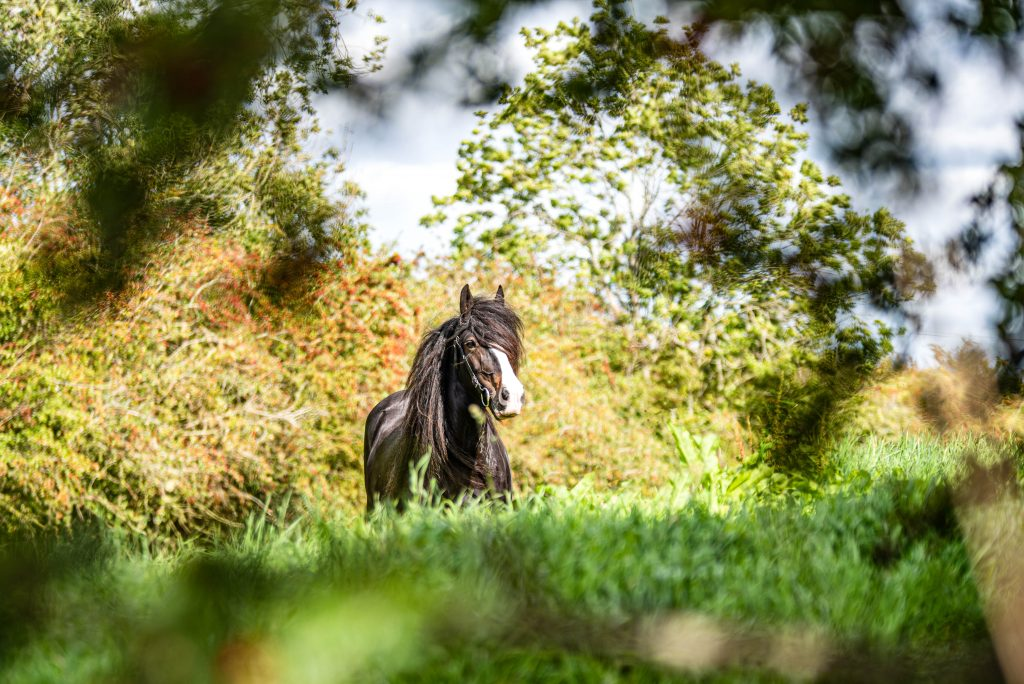 shire horse, photography. lincolnshire, pet, equine